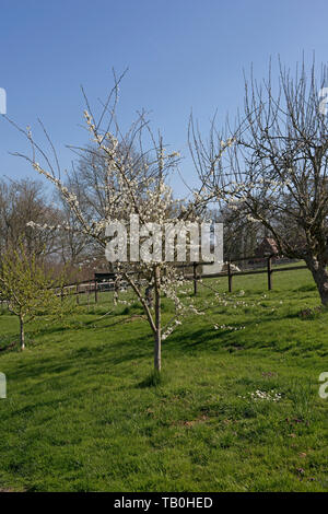 Blossom on a Victoria plum tree in a mixed garden orchard on a fine early spring day before the leaves emerge. - Stock Image