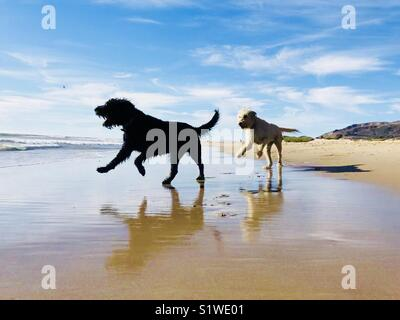 Two labradoodles dogs playing on the beach. Ventura, California USA. - Stock Image