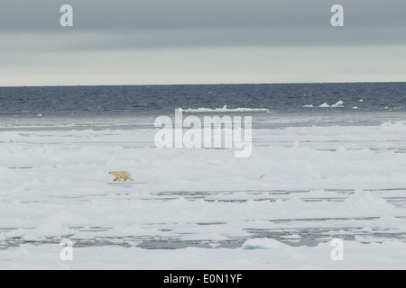 Polar Bear walking across ice, Svalbard, Norway, (Ursus maritimus) - Stock Image