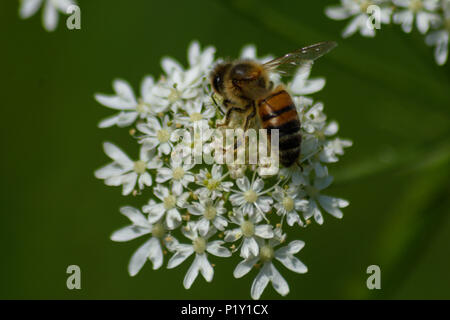 Honey bee feeding on a common hogweed flower from behind and above - Stock Image