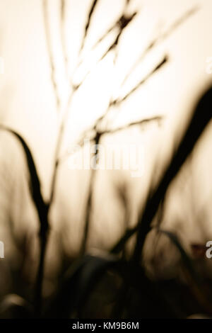 Abstract of evening light behind crops in soft focus. - Stock Image