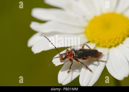 Soldier Beetle, Cantharis rustica feeding on Ox eye Daiisy, Leucanthemum vulgare flower, Wales, UK - Stock Image