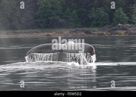 Humpback Whale tail flukes in Frederick Sound, Alaska - Stock Image