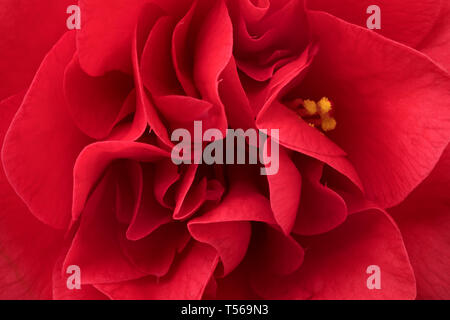 Single pink camellia flower close up full frame - Stock Image