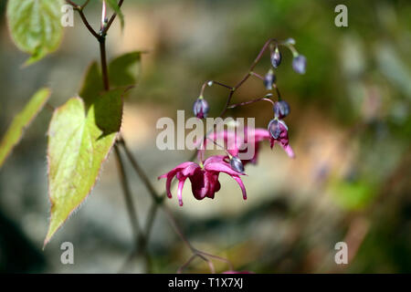 Epimedium x Royal Purple,flowers,woodland,perennials barrenwort,shade,spring,shady,shaded,RM Floral - Stock Image