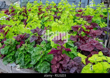 Flourishing red and green orach, atriplex hortensis, sometimes called French spinach or mountain spinach - Stock Image