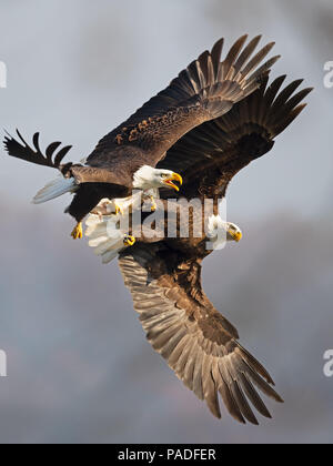 Bald Eagles Battle for Fish - Stock Image