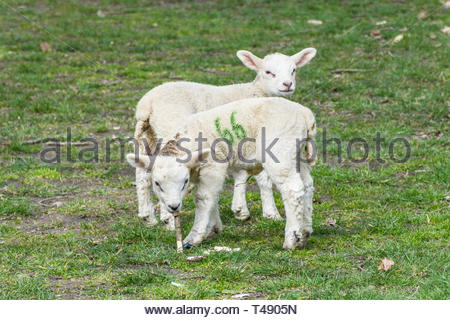 Two young lambs with the number 66 painted on them in green. - Stock Image