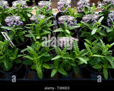 Plant nursery display of young flower plants in a greenhouse in early spring Verbena Obsession twister purple for later sale as bedding plants - Stock Image