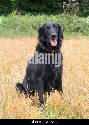 black flat coated retriever, 7 year adult female, sitting in field - Stock Image