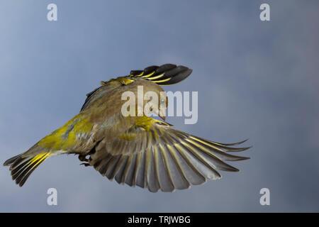 Grünfink, Grünling, Flug, Flugbild, fliegend, Grün-Fink, Chloris chloris, Carduelis chloris, greenfinch, flight, Verdier d'Europe - Stock Image