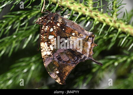 Central / South American Silver studded Leafwing Butterfly (Hypna clytemnestra) a.k.a. Jazzy Leafwing or Marbled Leafwing. - Stock Image