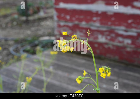 Small yellow flowers with green stem photographed during a sunny day in Nyon, Switzerland. In the background you can see some old weathered red wall. - Stock Image