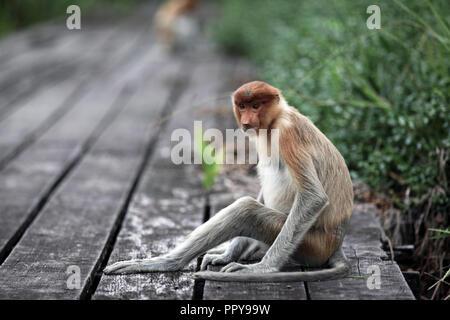 Proboscis monkey at Labuk Bay in Sabah, Borneo - Stock Image