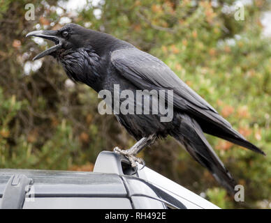 Scolding Raven: An angry crow or raven scolds passing tourists from his perch at the top of a large SUV. - Stock Image