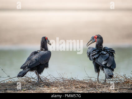 Southern Ground Hornbills (Bucorvus leadbeateri) on the ground in front of the Luangwa River - Stock Image