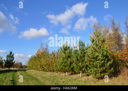 A footpath through a young plantation of coniferous and deciduous trees under a bright blue sky. - Stock Image
