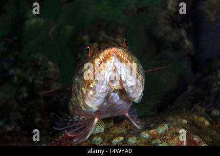 Front Close-up of a Lizardfish on the Bottom. Anilao, Philippines - Stock Image