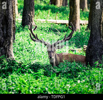 A young Red deer stag in the summer forest in lower austria - Stock Image