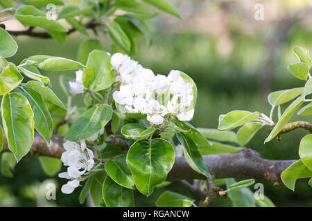 Pyrus communis 'Beurre Hardy' espalier growing in an English orchard. Pear blossom. - Stock Image