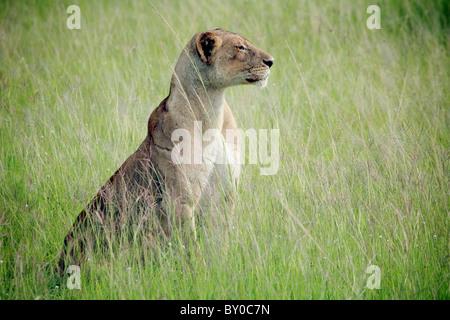lion in grass FEMALE LION (Leo Panthera). MIKUMI NATIONAL PARK.TANZANIA - Stock Image