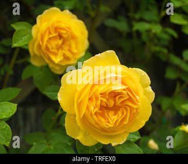 Two yellow roses growing in a garden in north west Italy. They are wet from recent rain - Stock Image