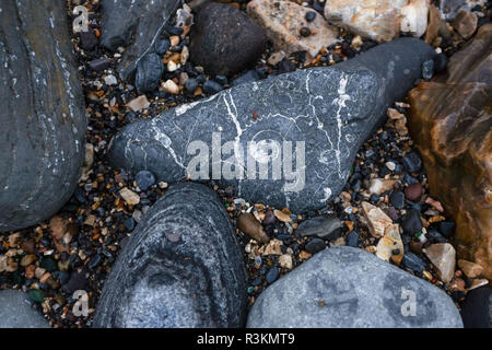 Fossils on the famous Jurassic coast beach between Charmouth and Lyme Regis in West Dorset UK - Stock Image