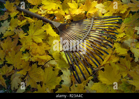Old Metal Leaf Rake With Yellow Maple Leaves Autumn Scene - Stock Image