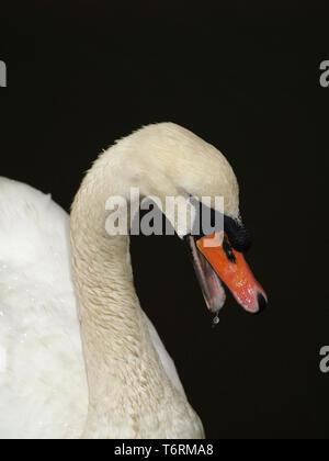 Swan on Beaulieu River, New Forest, Hampshire, England, UK - Stock Image