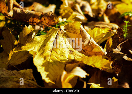 Fallen leaves in Autumn - Stock Image