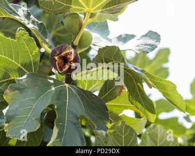 Freshly Ripened Fig, ( Ficus carica ) fruit better known as the common fig. Native to the middle East, Saronida, East Attica, Greece, Europe. - Stock Image