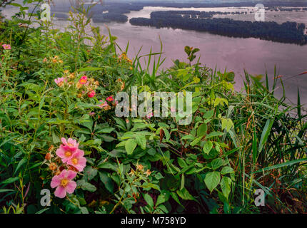 Wild roses and Mississippi River, Pikes PEak State Park, Iowa, IUowa State flower Rosa suffulta - Stock Image