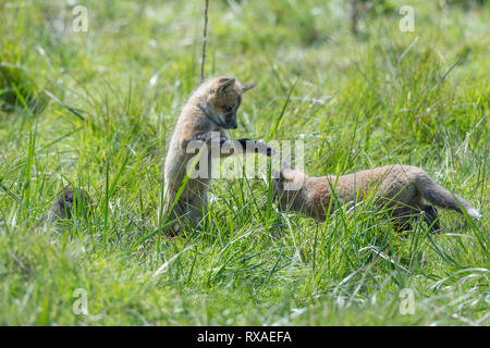 Two cross fox pups, red fox (Vulpes vulpes) playing in a meadow - Stock Image