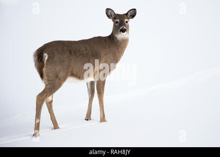 White-tailed Deer doe (Odocoileus virginianus) crossing snow covered pond - Stock Image