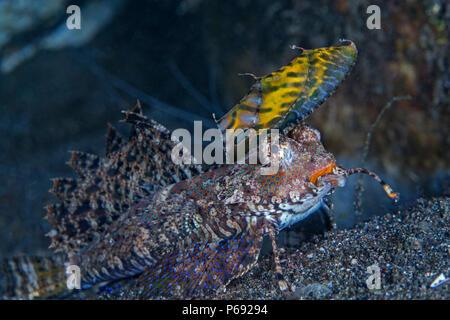 Fingered dragonet (Dactylopus dactylopus) on sea floor of Lembeh Straits, Indonesia. - Stock Image