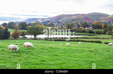 Sheep graze in a grassy meadow in rural Shropshire, England. - Stock Image