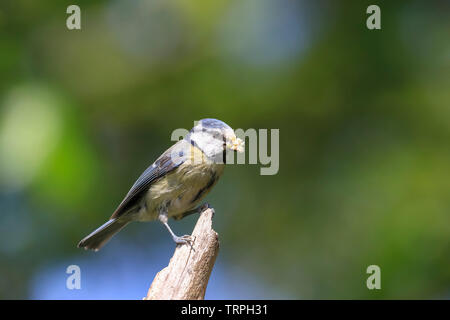 Detailed, close-up side view of wild blue tit parent bird (Cyanistes caeruleus) isolated on perch carrying collected food in its beak for chicks. - Stock Image