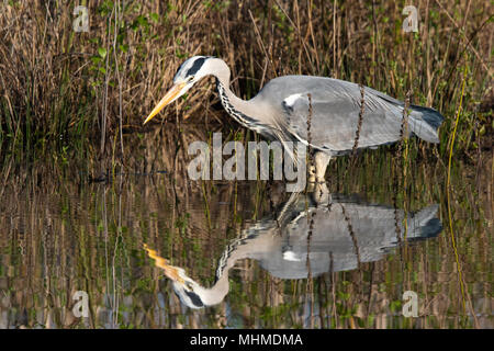 Grey Heron (Ardea cinerea) intently watching a fish underwater before striking.  Taken on an early morning with perfect reflection in still water - Stock Image