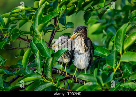 Perched Green Heron siblings are waiting for the sunrise. - Stock Image