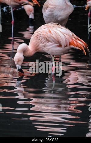 Chilean Flamingos at Twycross Zoo. - Stock Image