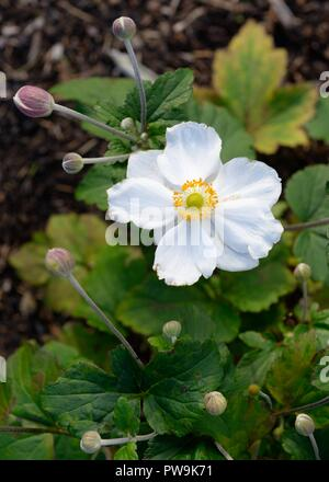 The white flower of a Japanese anemone 'Anemone × hybrida' or hupehensis during late summer in Scotland, UK - Stock Image