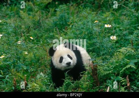 Young giant panda among anemones, Wolong, Sichuan Province, China, September - Stock Image