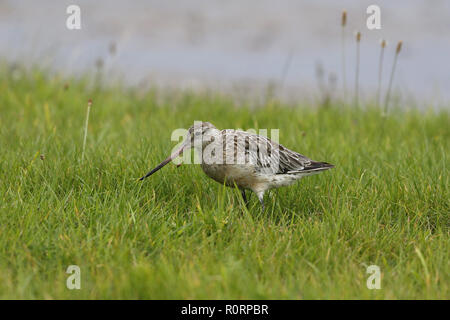 Bar-tailed Godwit, Limosa lapponica, feeding in damp grassland - Stock Image