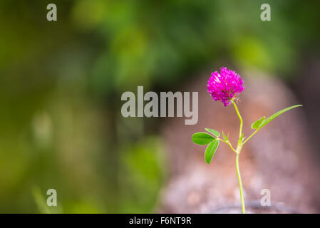 Single purple clover flower in sunny summer daylight - Stock Image