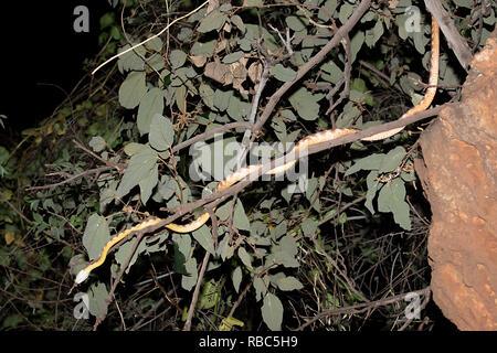 Brown Tree Snake or Night Tiger (Boiga irregularis) lying in ambush in foliage at Archway Cave, Undara Lava Tubes, Undara Volcanic National Park, Quee - Stock Image