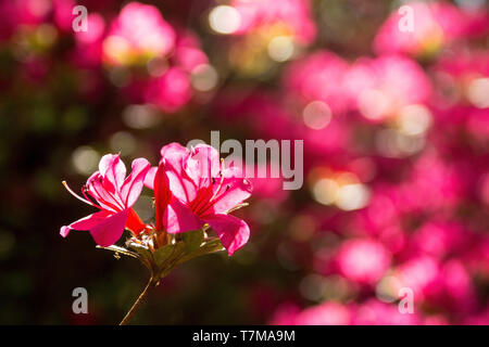 Pink flowers on an azalea bush growing in partial shade in north east Italy - Stock Image