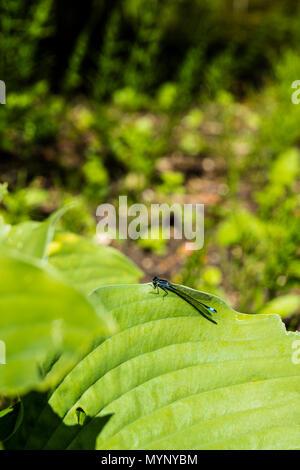 Damselflies are insects of the suborder Zygoptera in the order Odonata, Damselfly, Damselflies, insect, insects, flying insect, flying insects, - Stock Image
