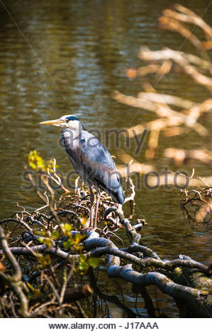 An Adult Grey Heron waits on branches overlooking the lake in Calderstones public Park In Liverpool waiting to feed. - Stock Image
