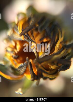 Old flower bud - Stock Image