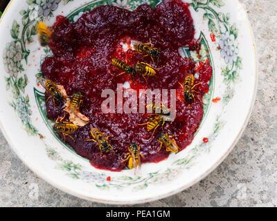 Common UK female worker wasps, Vespula vulgaris, feeding on a plate of jam in late summer - Stock Image